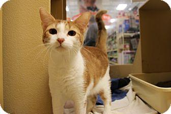 Domestic Shorthair Cat for adoption in Rochester, Minnesota - Sochi