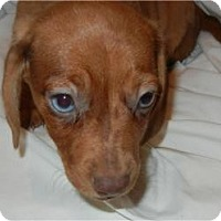 Adopt A Pet :: Dallas ADOPTED!! - Antioch, IL