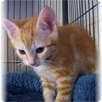 Adopt A Pet :: Marmalade - Shelton, WA