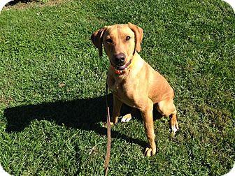 Coonhound (Unknown Type)/Labrador Retriever Mix Dog for adoption in LaGrange, Kentucky - SAWYER