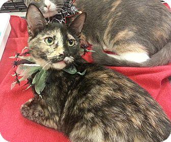Domestic Shorthair Kitten for adoption in Statesville, North Carolina - Spicegirl
