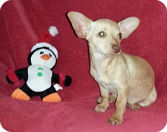 Chihuahua Mix Dog for adoption in San Diego, California - Lacey