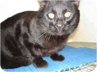 Domestic Shorthair Cat for adoption in Overland Park, Kansas - Eclipse