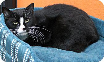 Domestic Shorthair Cat for adoption in Benbrook, Texas - Felix