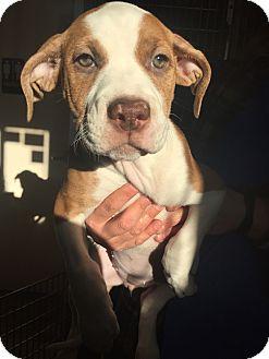 American Bulldog/Mastiff Mix Puppy for adoption in Fort Collins, Colorado - Arby (LONGMONT LOCATION)