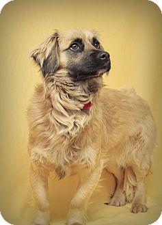 Tibetan Spaniel/Spaniel (Unknown Type) Mix Dog for adoption in Marietta, Georgia - Lexington