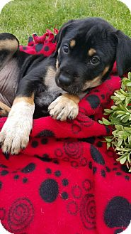 Shepherd (Unknown Type) Mix Puppy for adoption in Plainfield, Illinois - Carnation