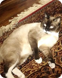 Snowshoe Cat for adoption in Flushing, New York - Parker