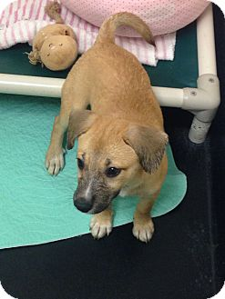 Labrador Retriever/Shepherd (Unknown Type) Mix Puppy for adoption in Barnwell, South Carolina - Summer