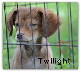 Spaniel (Unknown Type) Mix Puppy for adoption in Chester, Connecticut - Twilight
