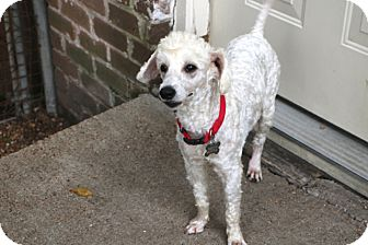 Poodle (Miniature) Mix Dog for adoption in Allentown, Pennsylvania - Kevin