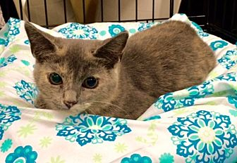 Domestic Shorthair Cat for adoption in Greensburg, Pennsylvania - Molly
