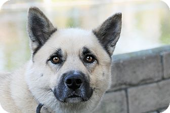Husky/German Shepherd Dog Mix Dog for adoption in Agoura Hills, California - Duke