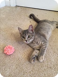 Domestic Shorthair Kitten for adoption in Carlisle, Pennsylvania - LunaCP