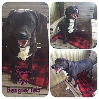 Labrador Retriever/Beagle Mix Dog for adoption in DeForest, Wisconsin - CoCo