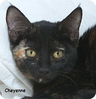 Domestic Shorthair Kitten for adoption in Sacramento, California - Cheyenne M
