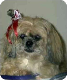 Lhasa Apso Dog for adoption in Encino, California - BOBO/Pending