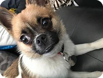Chihuahua/Pomeranian Mix Puppy for adoption in Livonia, Michigan - Holly-ADOPTED