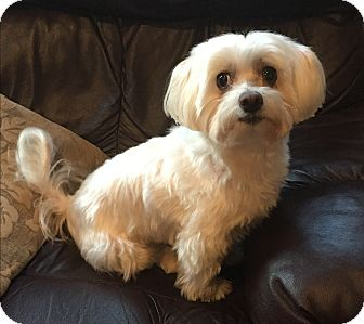 Maltese Dog for adoption in Beavercreek, Ohio - Baby Girl