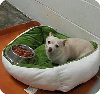 Chihuahua Mix Dog for adoption in Paducah, Kentucky - Cobain