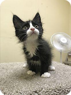 Domestic Mediumhair Kitten for adoption in Pasadena, California - Clyde