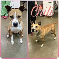 Adopt A Pet :: Chili - Steger, IL