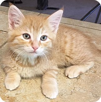 Domestic Shorthair Kitten for adoption in Buhl, Idaho - Hailey