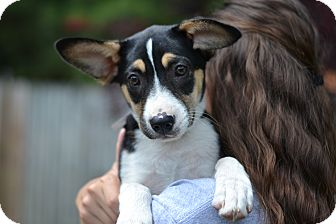 Labrador Retriever/Boxer Mix Puppy for adoption in Acworth, Georgia - Potato