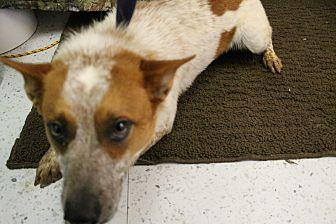 Australian Cattle Dog Dog for adoption in Huachuca City, Arizona - Seth
