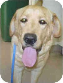 Labrador Retriever Mix Dog for adoption in San Clemente, California - KENNEDY