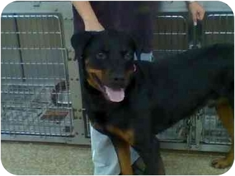 Rottweiler Mix Dog for adoption in Beacon, New York - Braxton