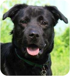 Labrador Retriever Mix Dog for adoption in Worcester, Massachusetts - Louie