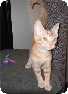 Domestic Shorthair Kitten for adoption in Portland, Oregon - Tanner