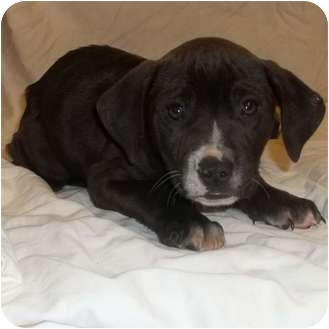Labrador Retriever/Pointer Mix Puppy for adoption in Bel Air, Maryland - Kringle