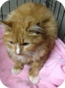 Domestic Longhair Cat for adoption in Hamburg, New York - Gregory