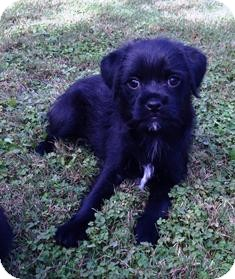 Dachshund/Brussels Griffon Mix Puppy for adoption in Tustin, California - Jessie