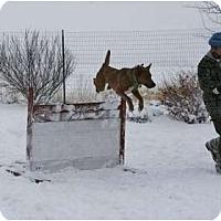 Adopt A Pet :: Nikki-AGILITY Dog - Hamilton, MT