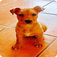 Adopt A Pet :: Cindy - San Diego, CA