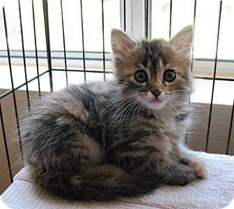 Norwegian Forest Cat Kitten for adoption in El Dorado Hills, California - KITTENS-Snowbee & Scrita