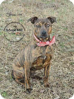 Boxer Mix Dog for adoption in Bolivar, Tennessee - Shazam