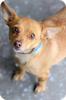 Chihuahua Mix Dog for adoption in Mesa, Arizona - Paco