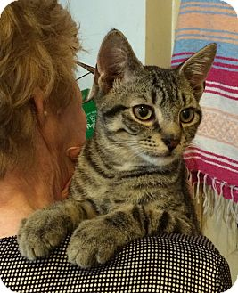 American Shorthair Cat for adoption in Brooklyn, New York - Angelo