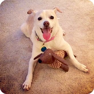 Chihuahua/Labrador Retriever Mix Dog for adoption in Chattanooga, Tennessee - Trinket