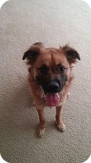 German Shepherd Dog Mix Dog for adoption in Middletown, Ohio - Honey Bear