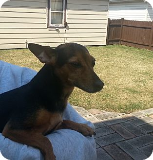 Toy Fox Terrier/Miniature Pinscher Mix Dog for adoption in Chicago, Illinois - Minnie