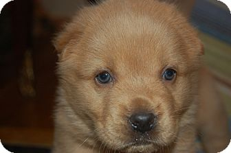 Golden Retriever Mix Puppy for adoption in knoxville, Tennessee - HONEY