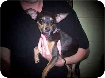 Chihuahua/Chihuahua Mix Dog for adoption in Baltimore, Maryland - Lacey