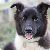 Adopt A Pet :: Cadet - Austin, TX