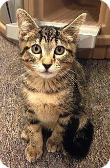 Domestic Shorthair Kitten for adoption in N. Billerica, Massachusetts - Marcie