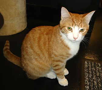 Domestic Shorthair Cat for adoption in Barnwell, South Carolina - Fillip